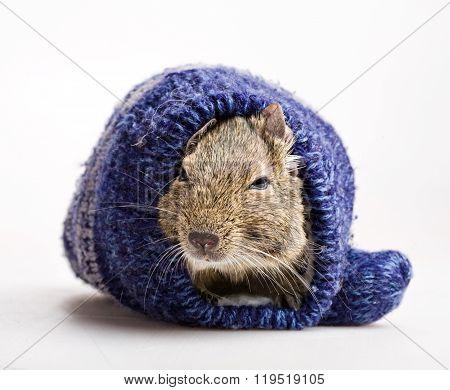 Hamster In Mitten