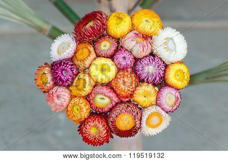 Everlasting Flower Or Strawflower