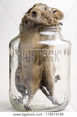 Two Hamsters In Jar