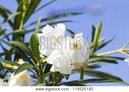 Blooming oleander flower against the sky. The Mediterranean climate.