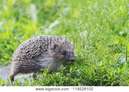 European hedgehog goes through the grass