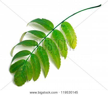 Green Rowan Leaves