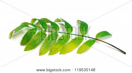 Rowan Leaves On White Background