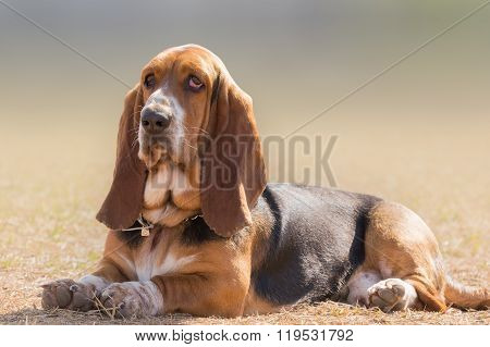 Basset hound dog portrait having a serious, yet funny cute look.