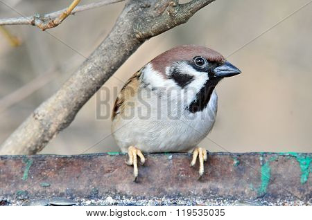 The Eurasian tree sparrow. The bird sits on the edge of the feeding trough for birds.