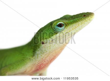 Lizard - anole lizard closeup