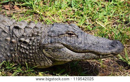 Alligator Profile Portrait