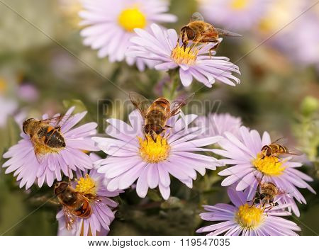 Many  Honey Bees Drinking Nectar From The Purple Flower.