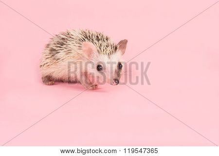 Cute african pygmy hedgehog