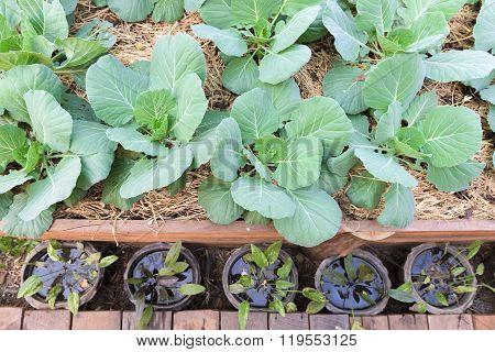 plant of Chinese Broccoli or Kale or Gai Lan