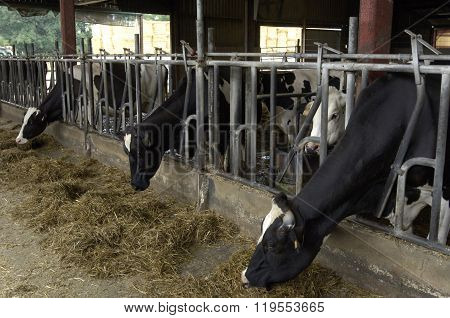 Cows In A Cowshed In France