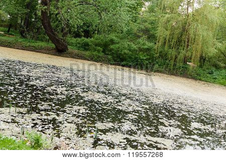 Overgrown Pond And Weeping Willows In Park