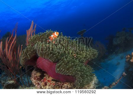 Coral reef, anemone and clownfish