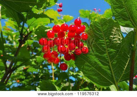 Viburnum shrub on a sunny day