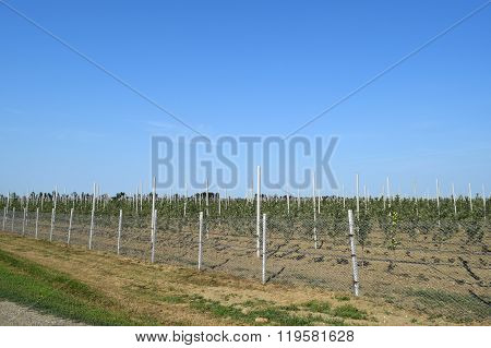 Young Apple Orchard