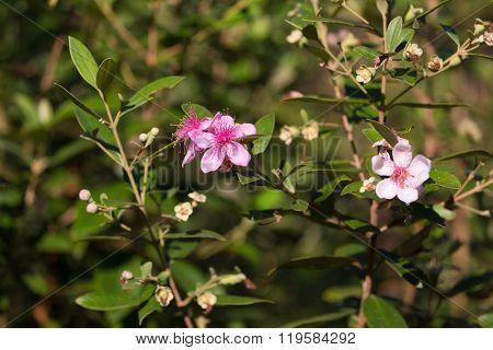 Myrtus tropical bush in blossom, Rhodomyrtus Tomentosa species, found wild in Thailand