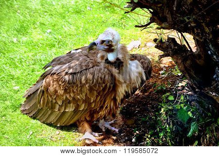 Cinereous Vulture Latin name Aegypius monachus