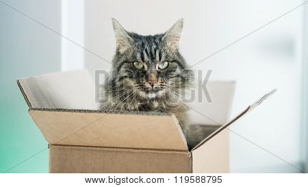 Beautiful Cat In A Cardboard Box