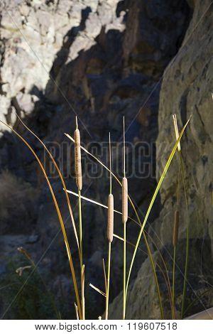 Cattails In Death Valley