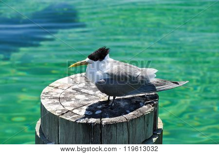 Crested Tern: Australian Bird