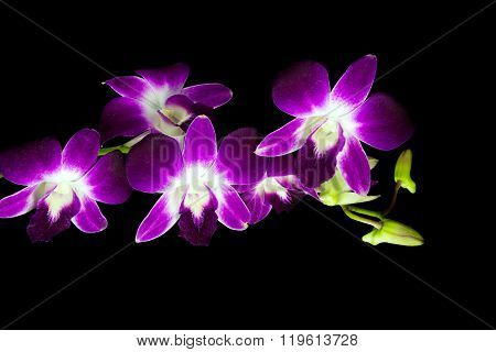 Beauty Purple Dendrobium Orchid In Black Background