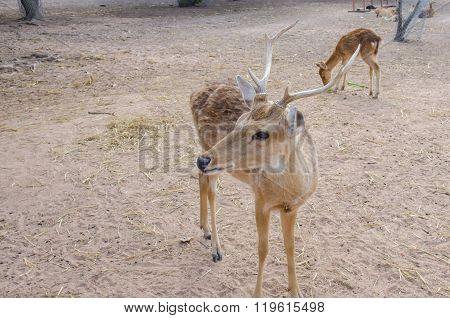 Chital Or Cheetal Deer (axis Axis)