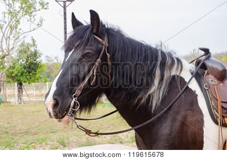 Gipsy Vanner Horse