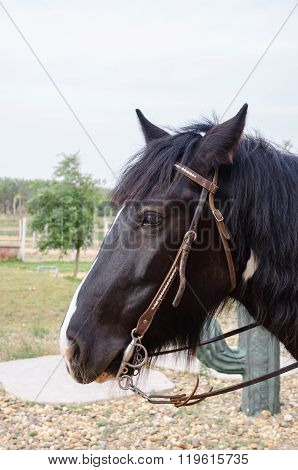 A portrait of a beautiful gipsy vanner horse