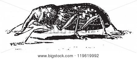 Weevil, Hylesinus abietis, vintage engraved illustration. Dictionary of words and things - Larive and Fleury - 1895.