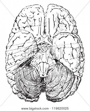 Cerebellum, vintage engraved illustration. Dictionary of words and things - Larive and Fleury - 1895.