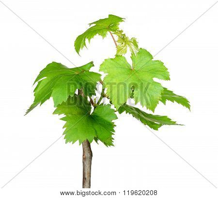 Sapling Grape Isolated On The White Background