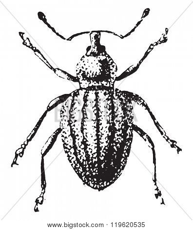 Weevil, Otiorhynchus ligustici, vintage engraved illustration. Dictionary of words and things - Larive and Fleury - 1895.