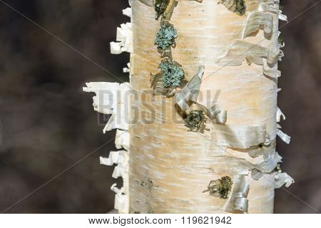 The Texture Of The Trunk Of A Birch Tree.