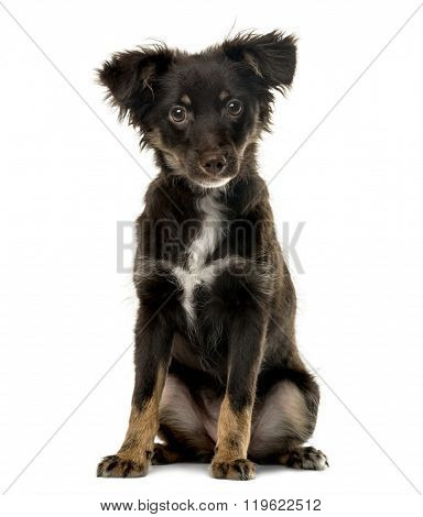 Cross breed puppy sitting and looking at the camera, isolated on white