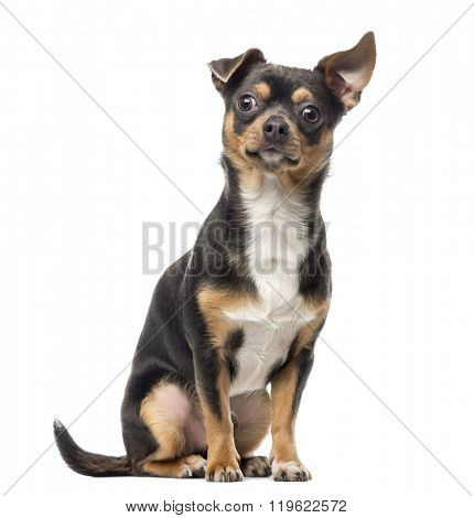 Cross breed dog sitting and looking at the camera, isolated on white