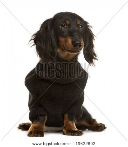 Dachshund pupy with a pull over, sitting and looking away, isolated on white (5 months old)