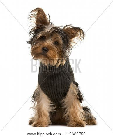 Yorkshire Terrier with a pull over, sitting and looking at the camera, isolated on white (4 years old)