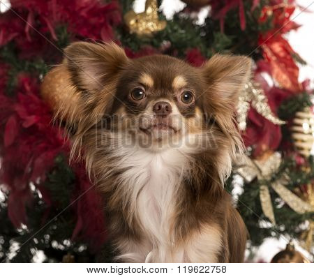 Close up of a Chihuahua puppy sitting in front of Christmas tree (5 months old)