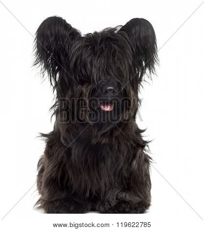 Skye Terrier lying down and sticking the tongue out, isolated on white (9 months old)