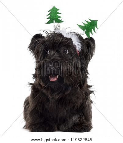 Skye Terrier with Christmas decorations, lying down and sticking the tongue out, isolated on white (9 months old)