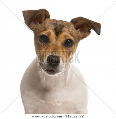 Close up of a Jack Russel looking at the camera, isolated on white (5 months old)