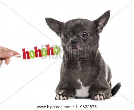 Chihuahua with a Christmas message lying down and looking away, isolated on white (1 year old)