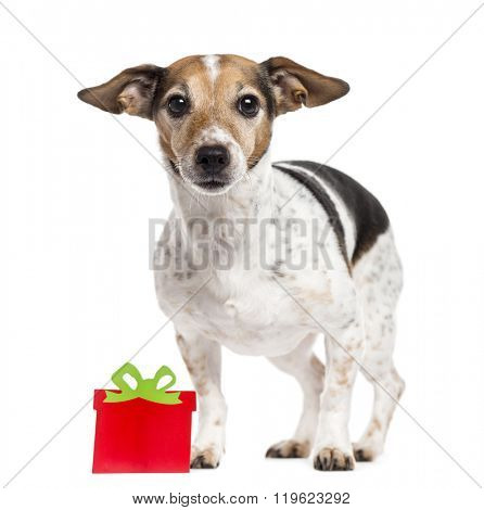Jack Russell Terrier with a gift box, standing up and looking at the camera, isolated on white (8 years old)