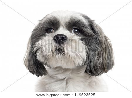 Close up of a Shih Tzu looking away, isolated on white (2 years old)