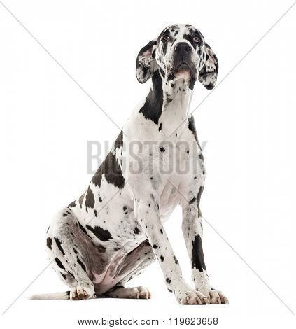 Great Dane sitting and looking up, isolated on white (2 years old)