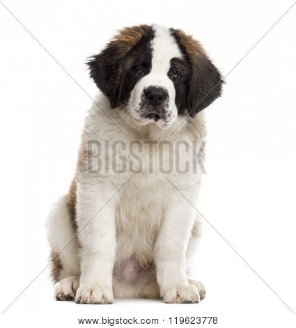 Saint-Bernard puppy sitting and looking at the camera, isolated on white (3 months old)