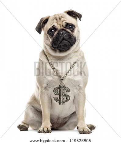 Pug sitting and looking at the camera, isolated on white
