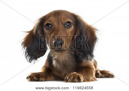 Dachshund puppy lying down and looking at the camera, isolated on white (5 months old)
