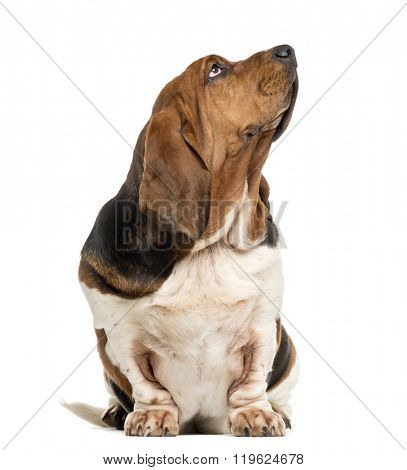Basset Hound sitting and looking up in front of a white background