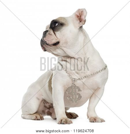 French bulldog with ears cut sitting and looking away, isolated on white